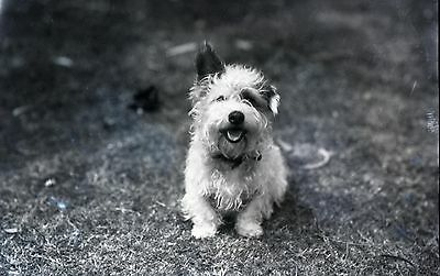 Jack Russell Rough - Postcard: Vintage repro - Jack Russell Russell Rough Coated Terrier - Mix?