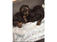 Beautiful yorkiepoo puppy's For sale poodle x yorkie
