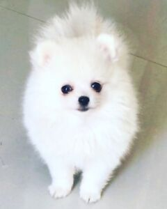 Sale real teacup Pomeranian Snow White puppy's