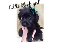 Stunning F1 Schnoodle Puppies