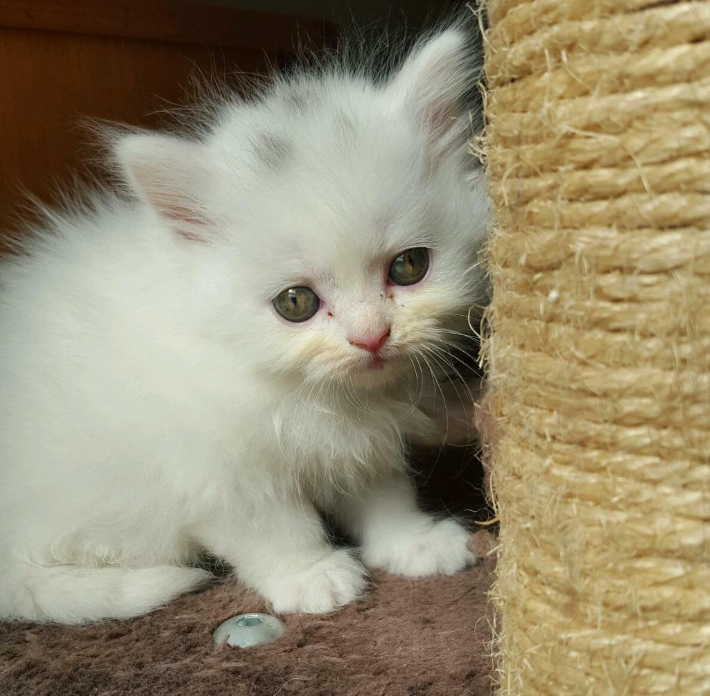 Persian X Turkish Angora Longhaired Kittens In Walthamstow London