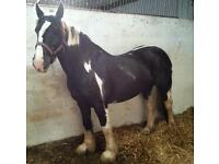 Beautiful 9year old skewbald cob mare