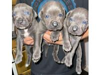 **Champion Cane Corso* ALL (Gray)Blue puppies available