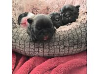 Four healthy Family friendly French bulldog puppies for sale