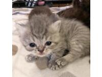 Stunning mainecoon x Britishshorthair kittens 6 available to reserve