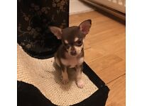 Gorgeous chocolate chihuahua puppy