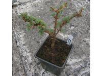 """DWARF LARCH TREE """"NANA"""" (GARDEN TREE,BONSIA,PATIO PLANT)"""