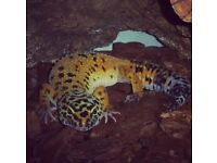 Adult leopard gecko with full set up