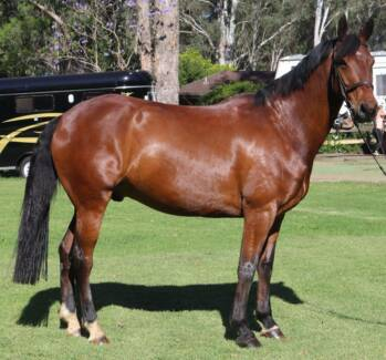 Lovable Stock horse/Warmblood looking for non competition home