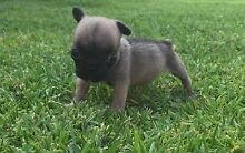 French Bulldog Puppy Tahmoor Wollondilly Area Preview