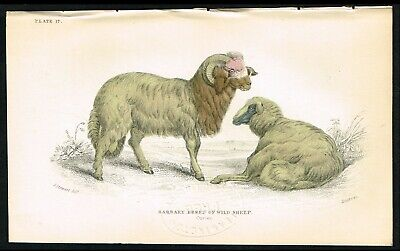 1840 Barbary Breed of Wild Sheep, Hand-Colored Antique Zoology Print - Lizars Breed Of Sheep
