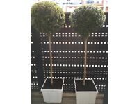 Buxus lolipops for sale