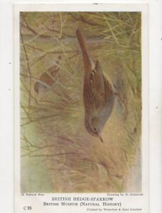 British Hedge Sparrow H Groenvold Vintage Bird Postcard 268b
