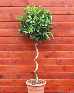 Sicilian Bay Tree with Corkscrew, Spiral Stem, 1/2 Std  ~ H1.4m, Laurus Nobilis