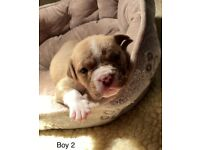 For sale 12 stunning chunky puppies, Douge de Bordeaux x Bullmastiff