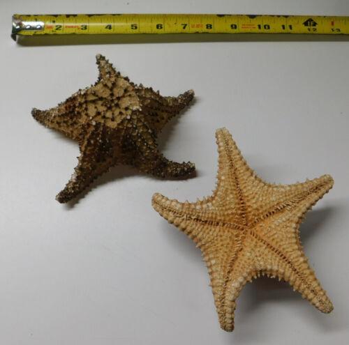 1 Real Dried Bahama Caribbean Starfish Sea Shell Nautical Decor Item # 1036-6