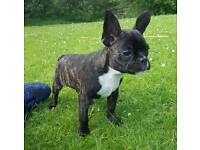 French bulldog bitch black tiger