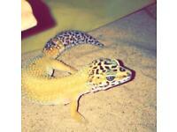 Female leopard gecko, open to offers