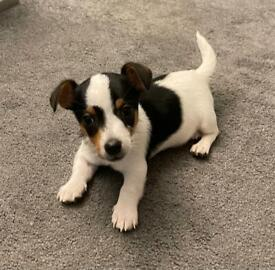 Miniature Jack Russell puppy