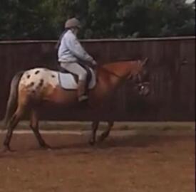 14.2 appaloosa gelding. Sold from field. Must go!