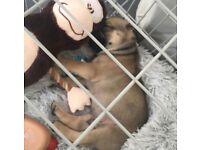 Frug/ Frenchiepug Puppy