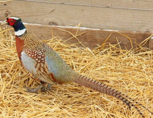 20+ Chinese Ringneck Pheasants Hatching Eggs. Read Descrp. NPIP Cert