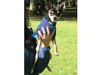 Chihuahua boy