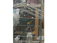 Zebra finches for sales