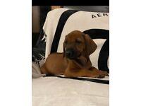 Rhodesian Ridgeback puppies KC registered
