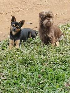 Chihuahua Dogs & Puppies For Sale | Gumtree Australia