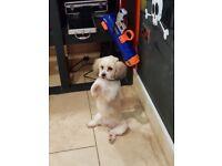 Shipoo (Shih-Tzu X Minature Poodle)