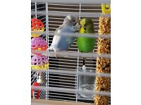 Pair of beautiful, healthy and young budgies