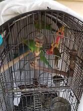 Indian ringnecks Boondall Brisbane North East Preview