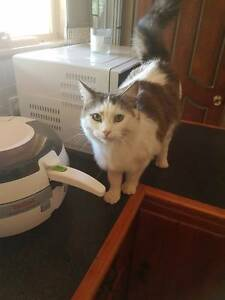 MISSING CAT Gawler Gawler Area Preview