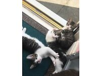 Four Beautiful Tabby and White Kittens Looking for Forever Homes - £50 each