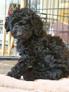 Miniature Poodle Male Pup