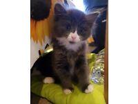 Lovely playful 1/2 British fluffy short hair kitten for sale