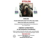 STOLEN ⚠️Female Blue Staffordshire bull terrier. Microchipped