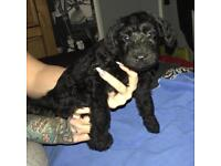 Kerry blue terrier price negotiable