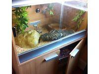 royal python + setup, substrate and plenty food
