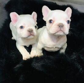 French Bulldog puppies (Lilac Platinum)