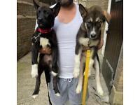 Wolf/Husky/Japanise akita pups (only 2 left!)