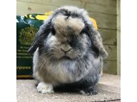 Beautiful super super friendly mini lop doe
