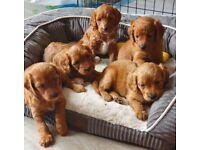 F2b Fox Red Cockapoo Puppies