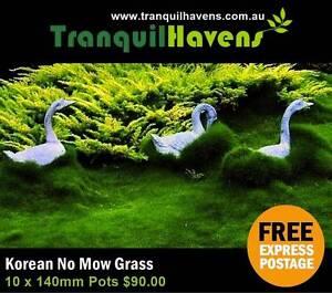 Korean Petting Grass (Zoysia Tenuifolia) 140mm Pots Free Delivery Killara Ku-ring-gai Area Preview