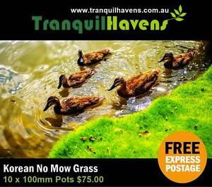 No Mow Grass 10 x 100mm Pots $75.00 Inc. Free Express Delivery Au Brisbane City Brisbane North West Preview
