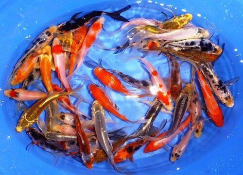"11-Lot Assorted 2""-4"" Standard Fin Live Koi Fish A-Quality for Pond Garden PKF"