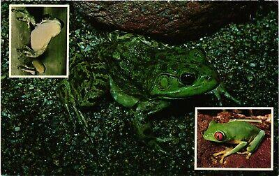 Vintage Postcard - The Bullfrog, Ruby-Eye Tree Frog, and Green Frog #2551