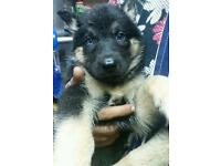 Female husky X shepherd for sale