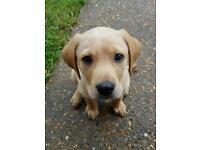 Springador pup